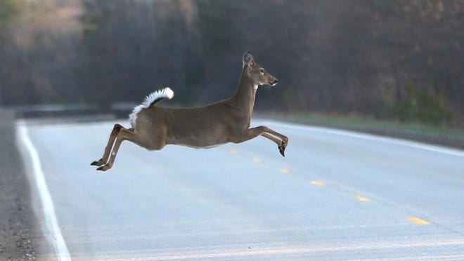 FILE - Thie May 6, 2015 file photo shows a deer runs across a road in Kinross Charter Township, Mich. Michigan wildlife policymakers are expected to consider restricting antlerless deer hunting during bow season in the Upper Peninsula as the whitetail deer population has plummeted.