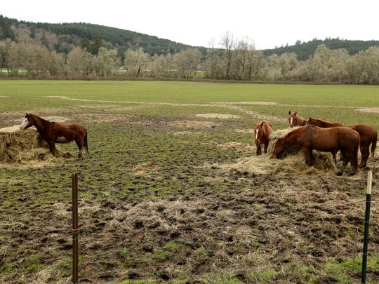 Five horses remain on a farm outside of Dallas, Ore., on Tuesday, March 28, 2017. An Independence woman was charged with 20 felony counts of animal neglect and two misdemeanor counts of neglect for horses goats and llamas on her property. She pleaded guilty to the two misdemeanor charges, and the remaining counts were dismissed.
