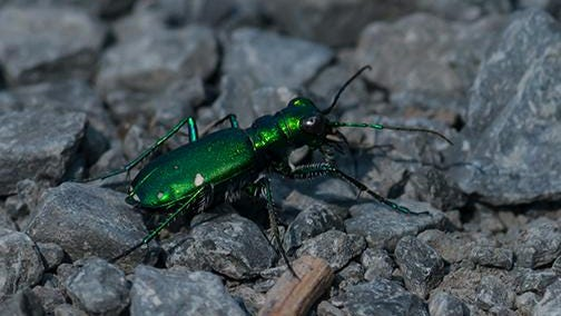 The six-spotted tiger beetle has a shiny body that helps hide it from predators.