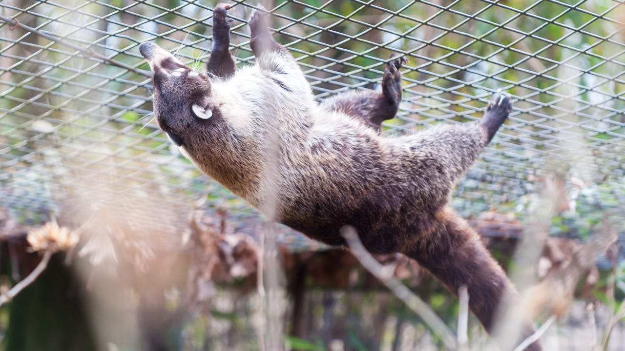 The Cohanzick Zoo in Bridgeton held it's annual Coati Day on Wednesday, February 1 to determine if spring was on it's way or if winter would remain.
