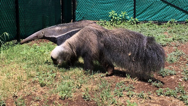 The latest addition to the Abilene Zoo, an 18-month-old anteater, explores the grass Monday. The zoo plans to hold a naming contest for the new resident, who goes on display this week.