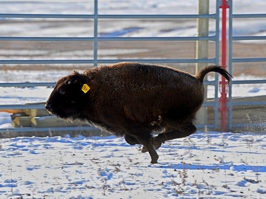-11132014_fort peck bison-e.jpg_20141113.jpg