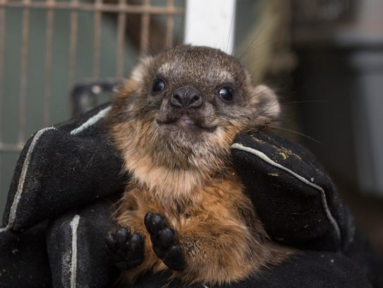 Meet Gnocchi, one of two rock hyrax pups born at Brevard