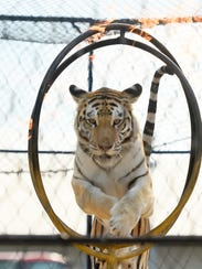 A tiger jumps through a flaming hoop in the Close Encounters