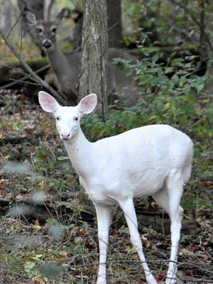 A rare all-white deer stares at a photographer while a normal-hued deer stands behind it in a photo shot in late summer of 2017 at Kensington Metropark near Milford, Michigan.
