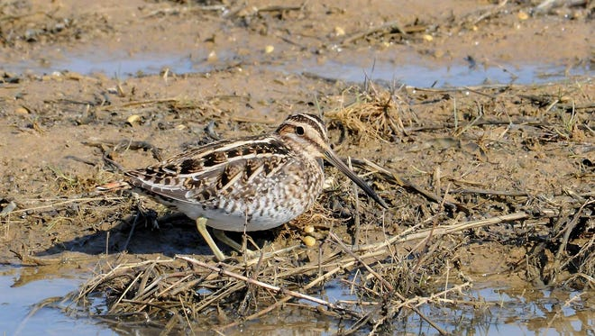 A Wilson's snipe illustrates how shorebird eyes are set near the backs of their heads, thus making them able to watch for approaching predators above while poking their bills in the mud below.