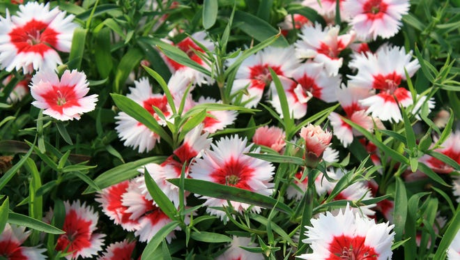 The Super Parfait series, such as this Super Parfait Red Peppermint, is cold weather-tolerant and produces large blossoms on compact plants.