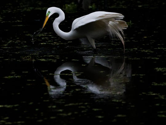 A great egret appears to eye its reflection while searching