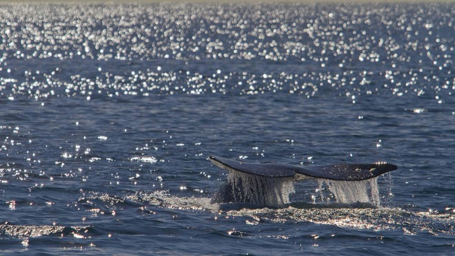 Whale watching aboard the Schooner, America off San Diego.