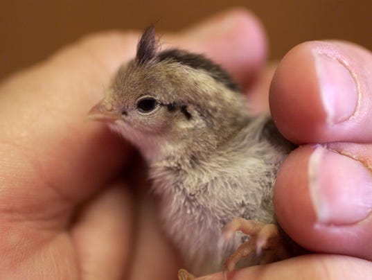 Image result for baby quail images