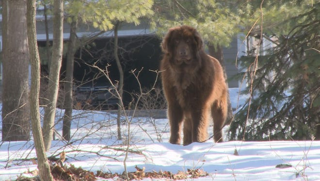 Shaggy, spotted Tuesday in Cascade Township. (Jan. 27, 2015)