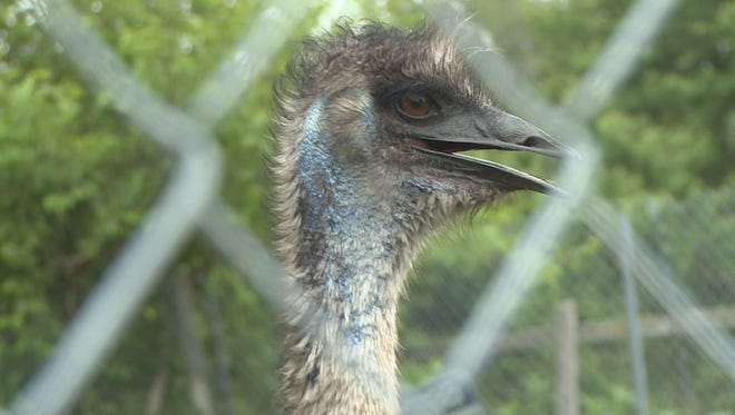 Emu still on the loose after escaping farm.