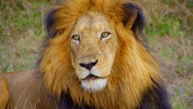 This 2015 photo provided by Smithsonian Channel shows a lion in a scene from Smithsonian Earth's Africa's Wild Horizons.