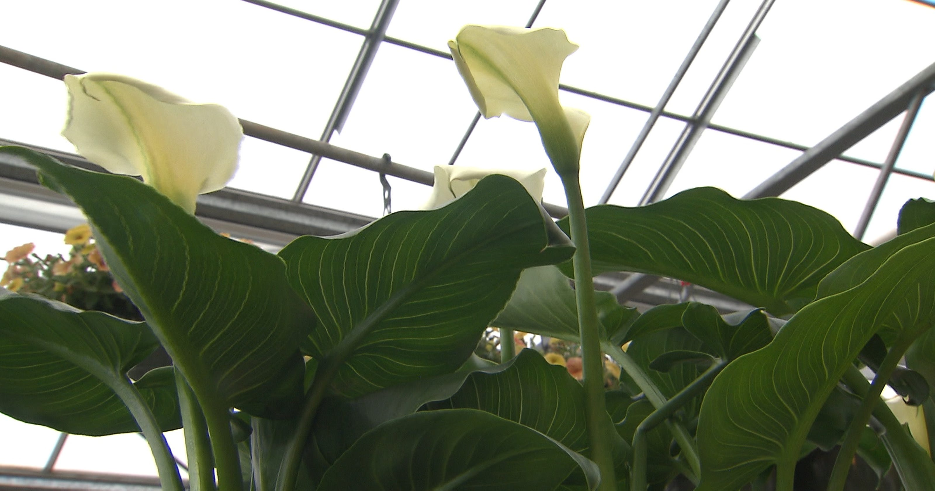 Get It Growing Calla Lilies Grow Well By Ponds