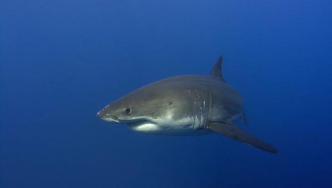 A shark swims through the open water.