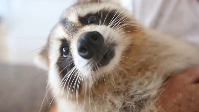 "Dorothy ""Dot"" Lee is the caregiver for Trouper, an 8-year-old raccoon who was repeatedly clubbed by a golfer as a tiny kit. Lee just got a license that allows her to take him throughout the U.S., and has hopes of taking Trouper's message national."