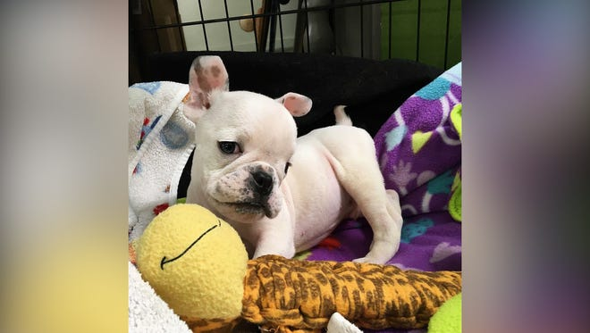 Herbie, a French Bulldog puppy, is getting intensive therapy as he awaits possible surgery.