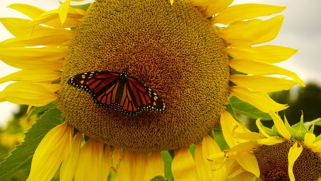"""Laura Jacoby of Hanover submitted this photo to the Evening Sun Nature and Scenery gallery Sep. 19. Jacoby writes, """"Caught a picture of a Monarch enjoying his evening on a sunflower at Clear Meadow Farm """""""