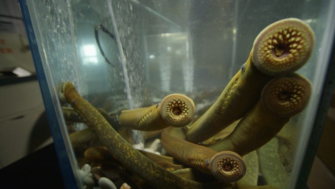 The sea lamprey, which attaches itself to large fish such as salmon and lake trout, has caused great damage in the Great Lakes.