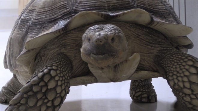 Spike the Tortoise walks again in Louisville after recovering from a life-threatening car accident.