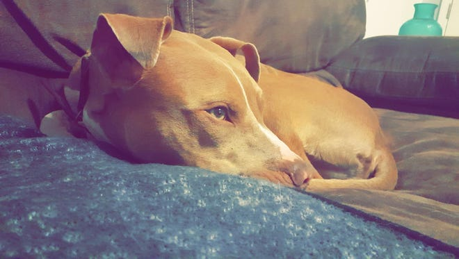 Squib, a year-old pit bull mix, was shot Tuesday by a Palm Bay homeowner who said the dog charged at him in his front yard, an account the dog's owner disputes. The dog had to be put down.