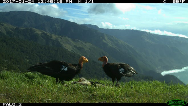 Miracle and Nomad, a mated wild born pair of California condors raising a family on the Big Sur Coast