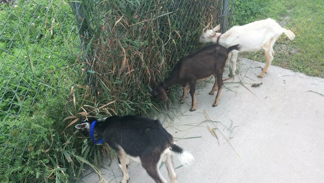 Three goats hang out Friday, Aug. 11, 2017, at the Oshkosh Area Humane Society, 1925 Shelter Court, before going to a hobby farm while shelter staff try to find their owner.