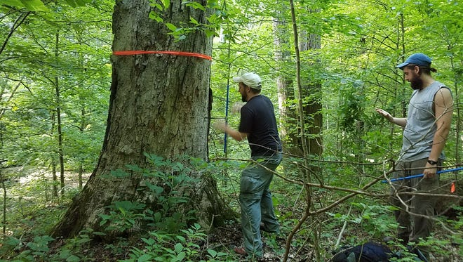 The Indiana Forest Alliance's forest characterization team estimates this sugar maple to be 150 years old, an old tree among a healthy mixture of tree ages in this forest. This maple falls in one of three tracts the state's Department of Natural Resources plans to select timber harvest this winter.