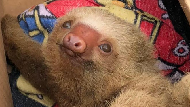Dirk Morgan rescued this sloth in Costa Rica.