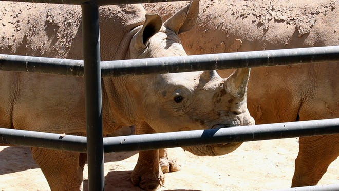 In the coming years, Wildlife World hopes to start a breeding program with its Southern White Rhinos to help conserve the species.