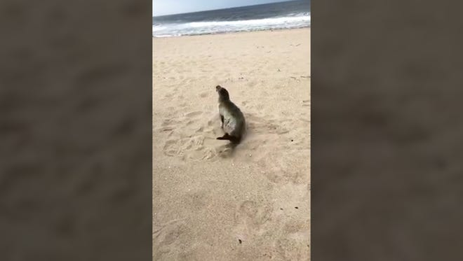 This seal was spotted in Belmar
