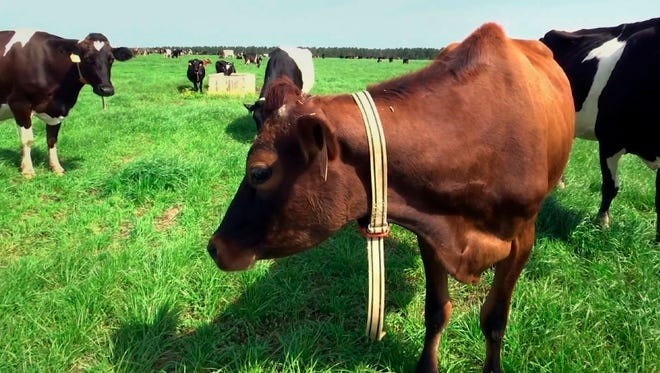 "In this March 28, 2018, image made from a video, a cow stands in a pasture on Seven Oaks Dairy in Waynesboro, Ga. On the cow's neck is a device called IDA, or ""The Intelligent Dairy Farmer's Assistant,"" created by Connecterra. It uses a motion-sensing device attached to a cow's neck to transmit its movements to a program driven by artificial intelligence."