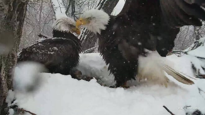 Mom and Dad Decorah do snow removal earlier this season for the eggs. Dad Decorah went missing last Wednesday and hasn't been found.