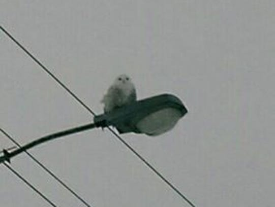 Barbi Schroeder, of Holt, spotted this snowy owl in