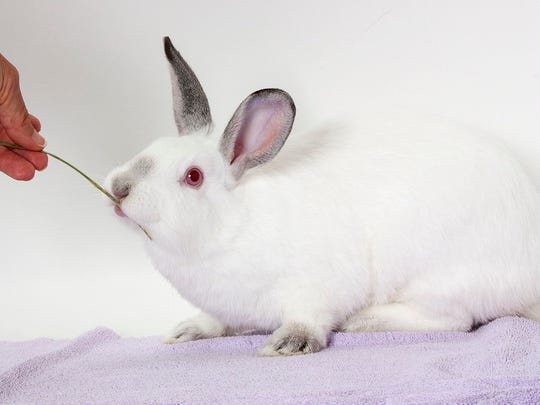 Koko Puff is a rabbit of unknown age and breed. ID No. 92106.
