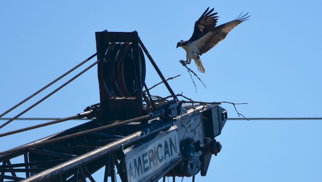 An osprey drops tree branches on the tip of a construction crane used to build the Peter Courtney Minto Island Bridge on Saturday, May 27, 2017. The city of Salem later lowered the crane to discourage the osprey from making a permanent home.