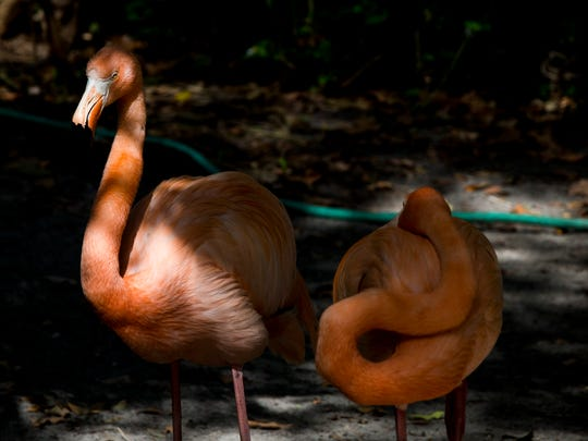 Flamingos bask in the sun at the Wonder Gardens in downtown Bonita Springs on Tuesday, May 23, 2017. The Everglades Wonder Gardens was presented with a historic designation plaque from the Bonita Springs Historic Preservation Board for providing the opportunity to experience native plants and animals over the past 80 years.