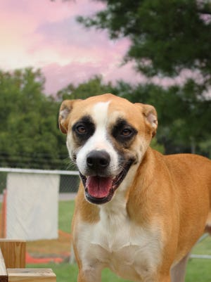 Tiki is available at the Licking County Dog Shelter.