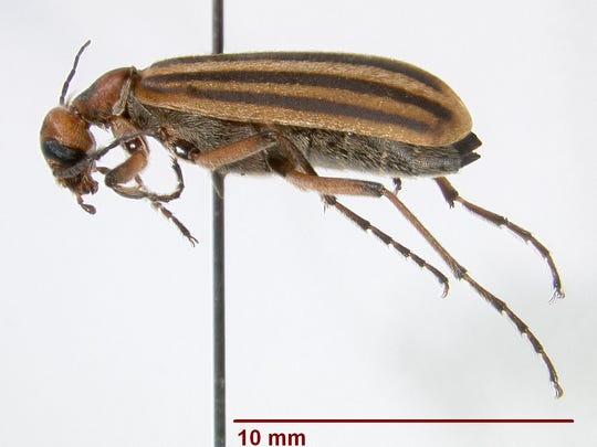 This photo of the blister beetle is from the LSU AgCenter Louisiana State Arthropod Museum.