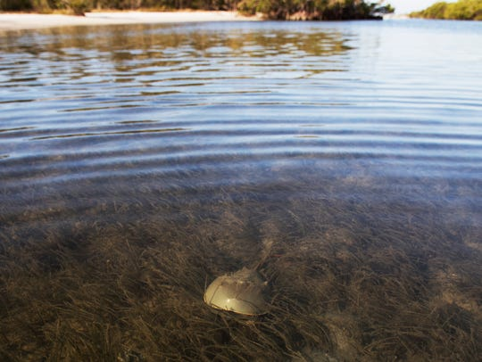 A horseshoe crab scoots across the south side of the