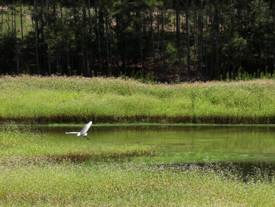 An egret takes flight along a water retention pond