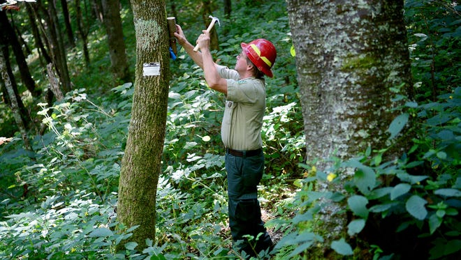 U.S. Forest Service entomologist Paul Merten hangs a piece of wood containing the larva of Parasitoid wasps to release them into the forest in an attempt to kill the Emerald Ash Borer along the Appalachian Trail at the North Carolina and Tennessee border on Wednesday, Aug. 31, 2016.