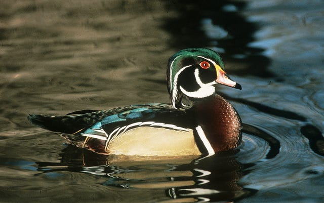 Southern And Mississippi River Duck Zones Open One Half Hour Before Sunrise  Oct. 1