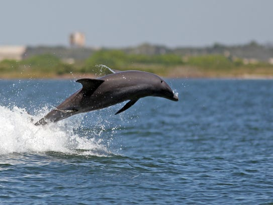 A pod of playful bottlenose dolphins used the bow wake