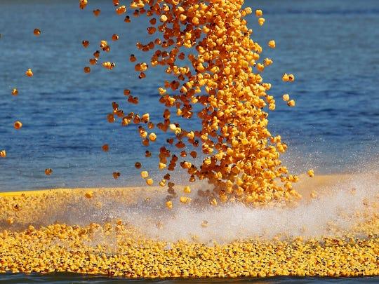 Rubber Ducks are dumped into the Ohio River as part of the Freestore Foodbank's Rubber Duck Regatta.