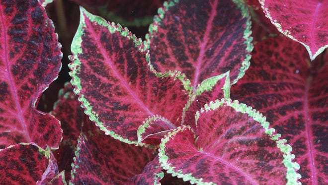One of the types of Coleus on display at the NY Botanical Gardens in The Bronx.