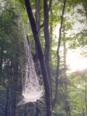 The web of a Bowl and Doily spider hanging in a tree.