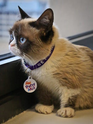 Grumpy Cat, an Internet celebrity cat whose real name is Tardar Sauce, is photographed on Friday April 4, 2014 in New York.