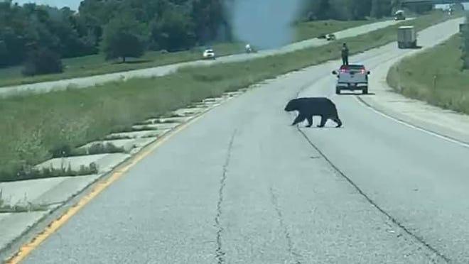 In Pike County this week, police blocked traffic on Interstate 72 to allow a black bear cross the road. The bear left Wisconsin June 10 and later lumbered through west-central Illinois, apparently en route to Missouri to find a mate.