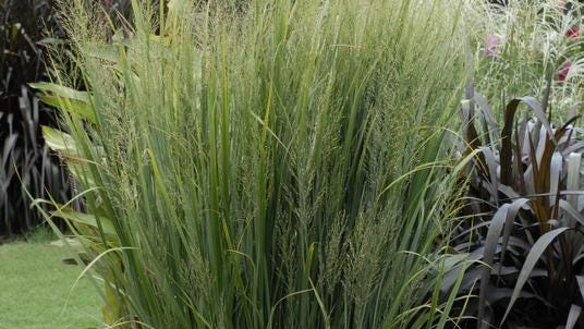 'Northwind' switch grass, panicum virgatum, a native plant that got its start in Wisconsin, has been named the 2014 Perennial Plant of the Year. It produces yellow flowers in late summer.